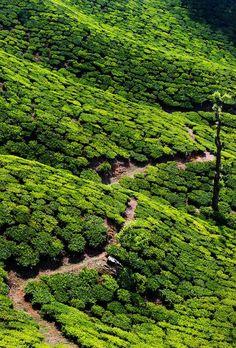 Tea Plantations - #Kerala, India