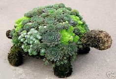 Succulent turtle. I want him!