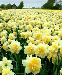 Narcissus Lingerie - Double Narcissi - Narcissi - Flower Bulb Index Daffodil Bulbs, Bulb Flowers, Flowers Nature, Daffodils, Yellow Flowers, Spring Flowers, Beautiful Flowers, Exotic Flowers, Narcissus Flower