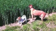 Dog At A Wheat Farm, Some Say He's Still Jumping