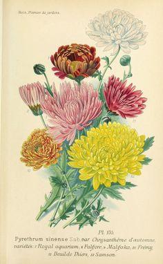 img/dessins plantes et fleurs jardins et appartements/dessin de fleur de jardin 0313 chrysantheme d automne - pyrethrum sinense (variete fulgore).jpg