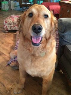 This is Aliza - 5 yrs. She was born at a breeding operation  was going to be a breeder girl but was unable to have puppies so they surrendered her to rescue. She is spayed, current on vaccinations, potty trained, good with dogs, cats  kids. Needs leash work. Retrieve A Golden, MN. http://www.ragom.org/avail.cgi/Available/dog?dog_id=6295