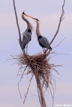 'Great blue heron - Courtship scenes' by Eric Bégin All Birds, Birds Of Prey, Love Birds, Pretty Birds, Beautiful Birds, Animals Beautiful, Exotic Birds, Colorful Birds, Nester