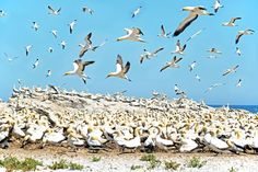 The Cape Gannet colony on Bird Island, Lambert's Bay on the West Coast of the Western Cape, South Africa ©John Ford, Adamastor & Bacchus