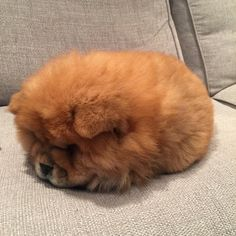 Chow Chow Pinterest KarinaCamerino Wanwanwo Pinterest Dog - This instagram chow chow looks like a fluffy potato and its so cute it doesnt even look real