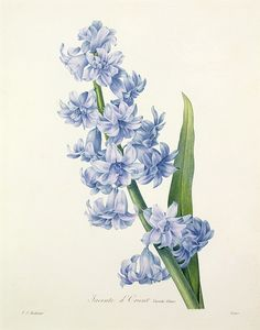 Hyacinth Drawing by Pierre Joseph Redoute