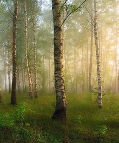 Stunning misty Silver Birch