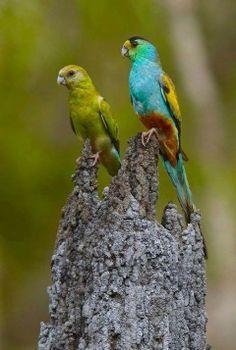 Australian Parrots and Birds - Parrots