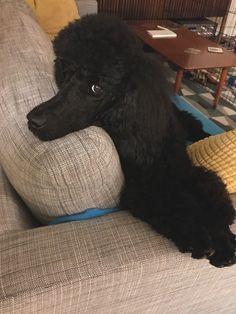 Image Result For Images Of Silver Or Platinum Toy Poodles Poodle