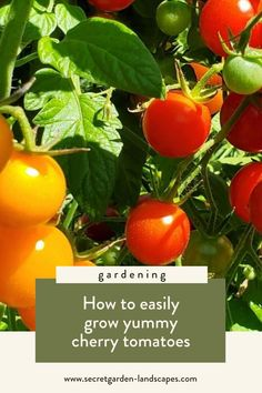 How to easily grow cherry tomatoes in your edible garden by Secret Garden Landscapes. If you are new to growing things in your garden, this is one of the plants I highly suggest. Cherry tomatoes are a good snack for you and your kids! Learn more on how to grow this and get some garden inspiration for your backyard. #ediblegarden #fruitgarden #gardeninginspiration #smallgardenideas