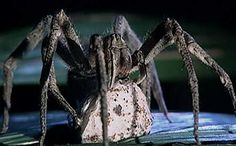 Brazilian Wandering Spider: highest human kill rate in the world. Also, gives you an erection that lasts 4 hours... What?