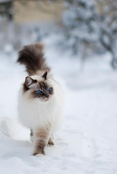 Birman cat in snow
