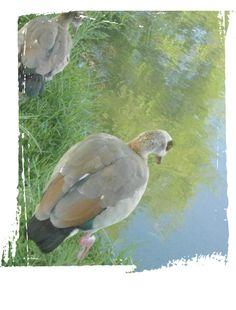 Kolgaans & young Pastels, Parrot, Bird, Animals, Parrot Bird, Animales, Animaux, Birds, Animal