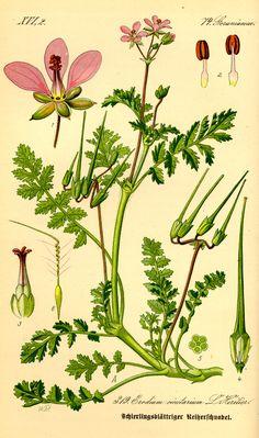 Erodium Cicutarium - Filaree