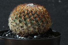 Gymnocactus (Turbinicarpus) isabelae