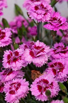 cd9adb0f18a1 Dianthus EverLast series Double-flowered