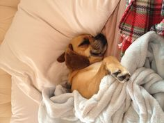 My Puggle loves to snuggle.
