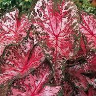 Resultado de imagem para caladium verde e rosa