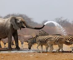 Fountain in the Wilderness... - photo by Johan Swanepoel;  Elephant (Loxodonta africana) spraying zebras with water in the dry season to keep them away from a busy the waterhole in Etosha National Park, Namibia.