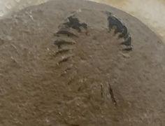 An ammonite fossil.