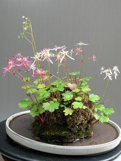 simonsaquascapeblog: Favoritos: Wabikusa Una especie de floración hydrocotyle.  Esto es tan hermoso!