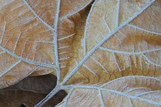 Morning Frost on Leaf - Nature Photography - Cold - Beige -Tan - Autumn - Woodland - Winter - Cold - Fine Art Photograph - Art Print