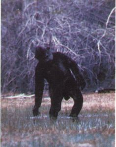Uncle Lean always looks constipated. Still from the 'Ivan Marx' footage. Bigfoot Stories, Bigfoot News, Yeti Bigfoot, Bigfoot Sasquatch, Aliens And Ufos, Ancient Aliens, Bigfoot Encounters, Bigfoot Pictures, Finding Bigfoot