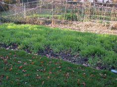 Какие сидераты сеять осенью? Посадка сидератов под зиму.  Сидераты зарекомендовали себя как эффективные экологически чистые удобрения. В органическом земледелии посев сидератов самое эффективное средство восстановления плодородия. Сидераты сеют в разные периоды: весной, летом, ранней осенью и под зиму. Подзимний посев имеет ряд преимуществ. Фото: © Kate