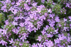 "Thyme 'Magic Carpet' (Thymus serpyllum)  Low, spreading, evergreen plants are covered with tiny, lemon-scented pink blooms all summer – ideal for groundcover or walkway edging. Grows 2-4"" tall. Plant in full sun, well-drained soil."