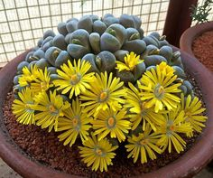 Lithops. I will never be able to get mine to look like this. Of all of the succulents, I've had, these are the easiest to kill.