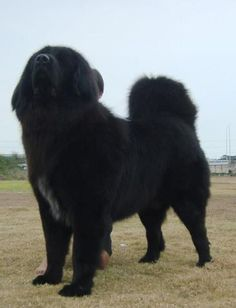 Tibetan Mastiff #dog #mastiff #animal