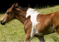 Άλογο γεννήθηκε με σχήμα… αλόγου στην πλάτη του - ΦΩΤΟ