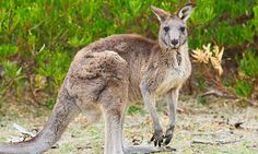 Melbourne-bound flight cancelled after plane hit a kangaroo on runway