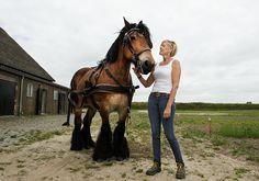 working horses on the Island of Tiengemeten