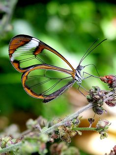 """trem-das-cores:  """"Glasswing Butterfly"""" by Macky 