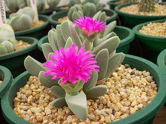 Cheiridopsis purpurea   von feroxcactus