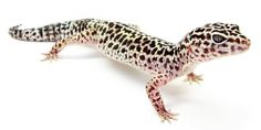 Good hygiene practices for Leopard geckos Hygiene is defined as practices and/or conditions or practices conducive to maintaining health and preventing disease, especially through cleanliness. http://www.leopardgeckos.co.za/good-hygiene-practices-for-leopard-geckos/