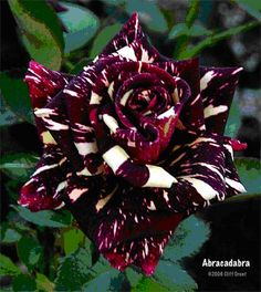 Black White Stripe Dragon Rose Seeds) omg is this real? Black Rose Flower, Beautiful Rose Flowers, Unusual Flowers, Rare Flowers, Black Flowers, Amazing Flowers, Black Roses, Yellow Roses, Rare Roses