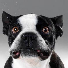 boston terriers are the best. Boston Terrier Love, Boston Terriers, Terrier Dogs, Funny Animal Photos, Funny Animals, Cute Animals, Funny Dog Faces, Funny Dogs, I Love Dogs
