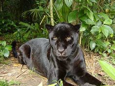 plants of belize | Photo Gallery - Animals of Belize/Black Jaguar at the Belize Zoo