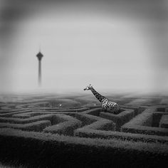 giraffe in a maze. if you are so tall you can easily see over the hedge rows, is it impossible to get lost? Shattered Glass, Bright Eyes, Fantasy, Surreal Art, Maze, Great Photos, Black And White Photography, Art Photography, Amazing Photography