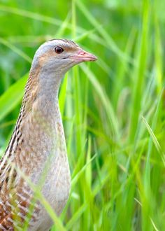 """The corncrake (Crex crex) is a humble little bird. It makes a """"crex-crex"""" noise and sounds much like an alarm clock. Learn about them here! Woodlice, Australian Parrots, Nocturnal Birds, Long Eared Owl, Barred Owl, Conifer Trees, Ostriches, Dawn And Dusk, Brown Bird"""