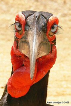 The world's largest hornbill species, Africa's Southern Ground Hornbill, is found only from Kenya to South Africa. They're huge, prehistoric-looking birds of open grasslands and savanna in sub-Saharan Africa. This species is critically endangered! Pretty Birds, Love Birds, Beautiful Birds, Animals Beautiful, Beautiful Eyes, Hello Beautiful, Weird Birds, Gorgeous Girl, Birds 2