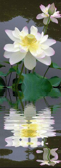 6d8ceea08a1d 28 Inspiring Lotus images | Beautiful flowers, Gardens, Lotus blossoms