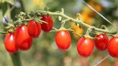 obrázek z archivu ireceptar.cz Gardening, Stuffed Peppers, Vegetables, Fruit, Lawn And Garden, Stuffed Pepper, Vegetable Recipes, Stuffed Sweet Peppers, Veggies