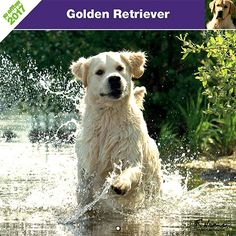 Calendrier chien 2017 - Race Golden Retriever - Affixe Edition