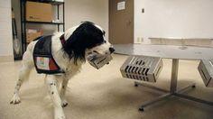 Uluslararası Köpek Eğitim Merkezi, 'Kdog' projesiyle iki köpeğe burunlarıyla göğüs kanserini teşhis etmeyi öğretiyor. Uzmanlara göre köpeklerin koku yeteneği çok gelişmiş olduğu için proje başarılı sonuçlara ulaşabilir. Detaylar ajanimo.com'da.. #ajanimo #ajanbrian #hayvan #animal #dog #köpek
