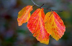 Blätter der Zaubernuss - Jahreszeiten - Galerie - Community