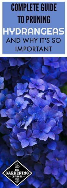 hydrangea garden care Pruning hydrangeas is important to ensure that they reach their full potential next year. Learn how and when to prune the hydrangeas in your garden. When To Prune Hydrangeas, Pruning Hydrangeas, Hydrangea Shrub, Hydrangea Garden, Garden Shrubs, Hydrangea Flower, Garden Plants, Container Gardening Vegetables, Container Plants