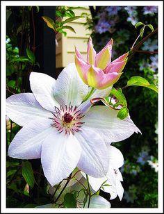 clematis  vine bloom june-sep  zone 4-9